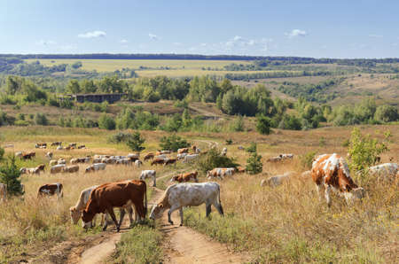 a herd of cows grazing in the pastures of the Voronezh region. Russia Stock Photo