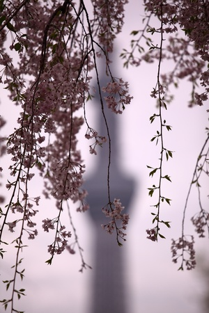 Twigs of a cherry tree in front of a TV tower silhouette photo