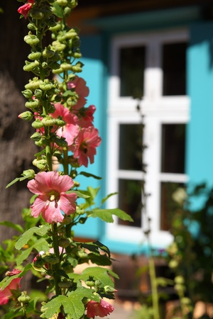 transom: Hollyhock plant in a garden in front of an antique transom window Stock Photo