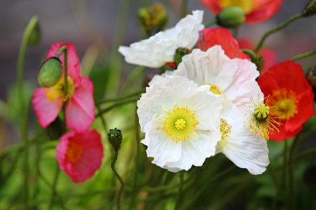 coloful: Coloful Poppies