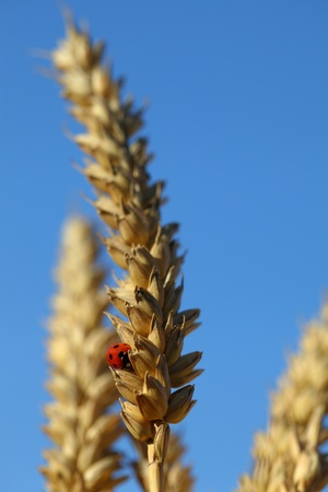 Wheat grain ear and a resting ladybird photo