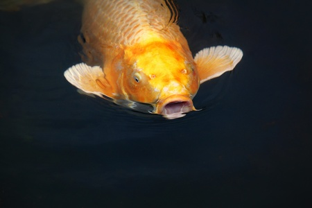 close your eyes: Orange koi carp with open mouth at a pond Stock Photo