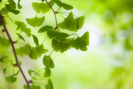 Soft focused fresh green leafs of a Ginkgo tree photo