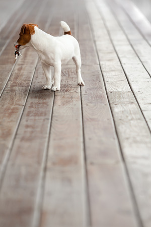 A vintage style dog with a key in his mouth standing at wooden planks and looking back photo