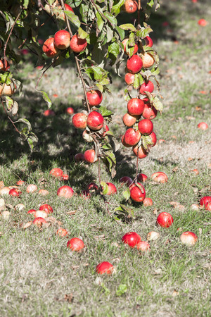 Fruits from an apple tree at the grass photo