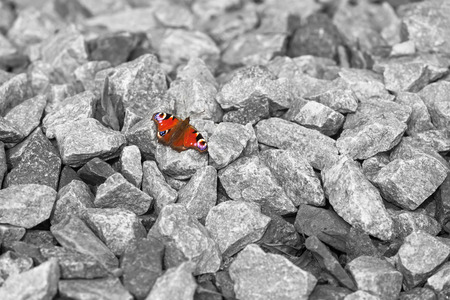 nger: Colorful peacock butterfly sitting at a place of gray stones