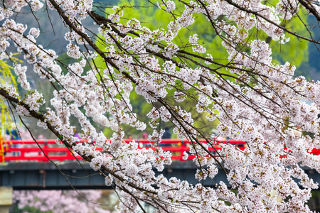 japanese bridge: Branches of a cherry tree at sakura season in spring and a traditional red japanese bridge at the background