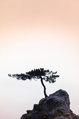 windswept: Small windswept conifer on a unique rock at warm evening light Stock Photo