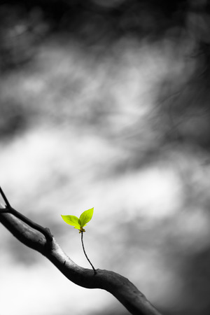 color key: Two small fresh lonely green leafs at a tree (color key) Stock Photo