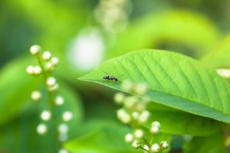 hormiga hoja: Pequeña hormiga caminando negro en una hoja verde fresca