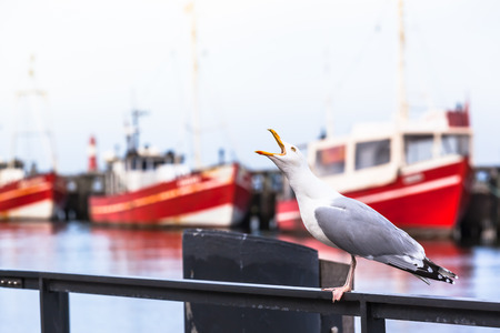 shrieking: Shrieking seagull at a small harbor handrail and red fishing boats