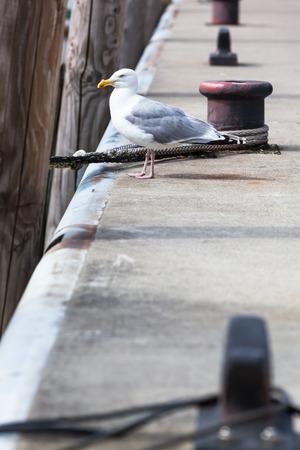 bollards: Seagull stand at pier border between bollards and ropes