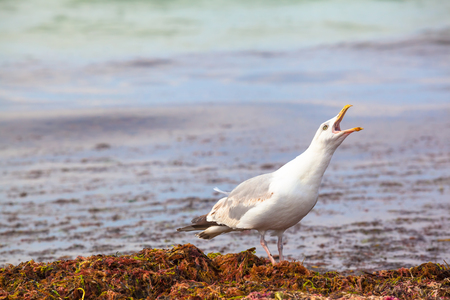 squawk: Squawking seagull at a heap of brackish plants at the shore Stock Photo