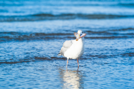 kingsize: A seagull stand in the water with a flounder fish in the beak