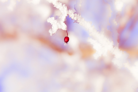 poetic: One single red berry at an frozen icy twig in winter with atmospheric poetic background Stock Photo