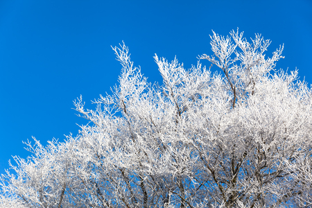 beautiful tree: Top of icy bald deciduous trees with white branches in winter in front of the blue cloudless sky