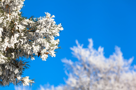 snow tree: Branches of frozen icy conifer tree with white winter treetops in background in front of the blue cloudless sky copy space