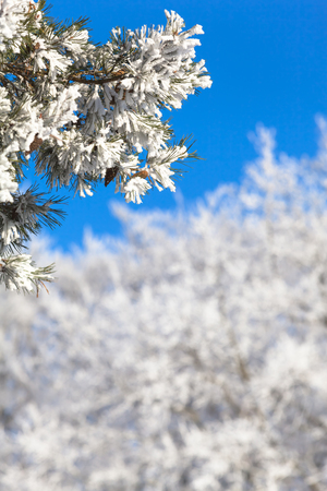 coniferous tree: Branches of frozen icy conifer tree with white winter treetops in background in front of the blue cloudless sky and copy space at blurred background Stock Photo