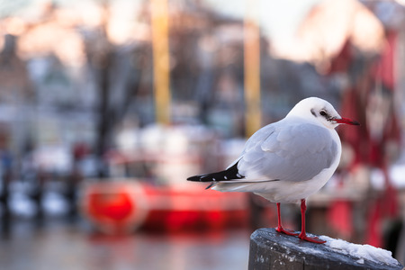 winter urban wildlife: Seagull standing at a pillar at evening light in cold winter and small town harbor background