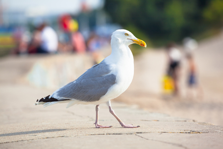 seabird: Huge seagull walking on stone wall in summer near (defocused) people looking for relaxation at beach area Stock Photo