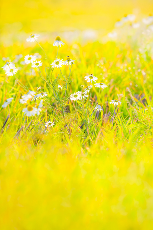 Bunch of marguerite flowers at bright colorful yellow and green blurred meadow background (copy space) Stock Photo