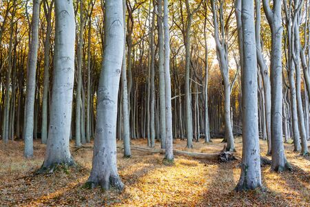 Tall strong tree trunks at autumn forest against sunlight, Warnemünde, Mecklenburg, Germany