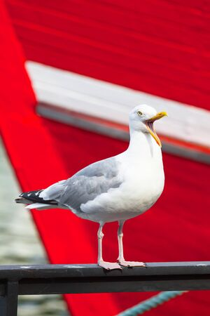Seagull stand on handrail at harbor, open beak, crying loud, red fishing boat background (copy space)