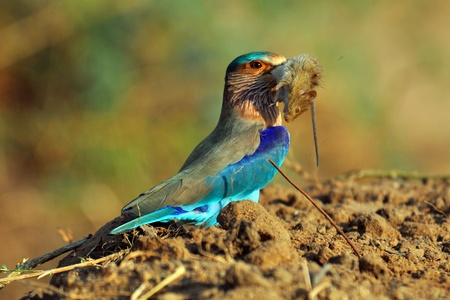 coraciiformes: Indian Roller devouring a mouse Stock Photo