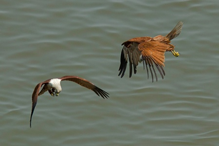 feeding frenzy: Brahminy Kites involved in a feeding frenzy  Stock Photo