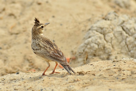 crested: Crested Lark Stock Photo