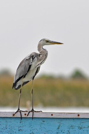 ardeidae: Grey Heron
