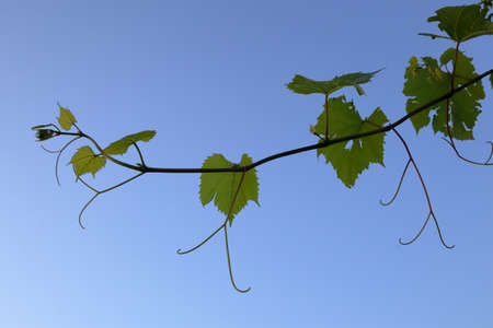 grapevine, grape Archivio Fotografico