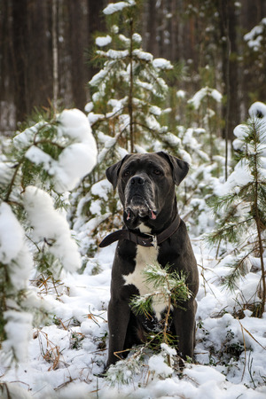 Portrait of serious grey Cane corso dog sitting in winter forest