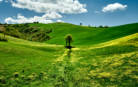sunny day in Bolgheri. landscape view. lonely tree. Tuscany, Italy, Europe. A lot of green grass and yellow flowers good looking with blue sky