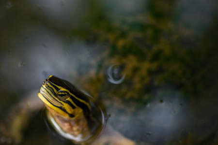 Red eared slider terrapin turtle with only its head protruding from still water.