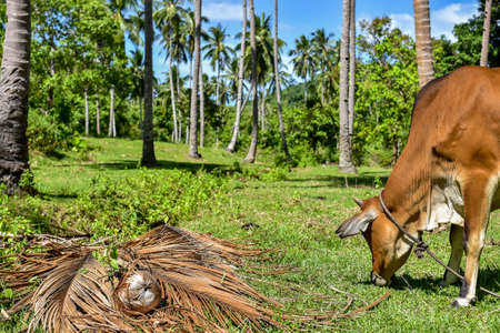 A Golden cow eating green grass with a back drop of tall tropical palm trees and blue sky on a sunny day.