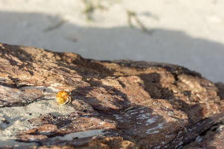 A golden shelled hermit crab crawls along a old tree trunk on a white sand beach during golden hour. Stock Photo