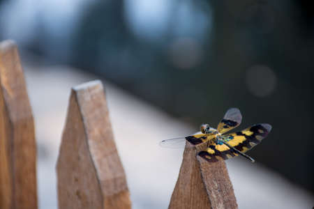 A beautiful Yellow and black winged dragon fly landed on the top of a wooden fence.
