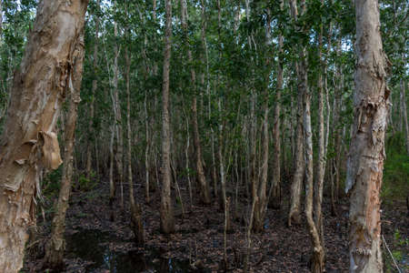Dense flooded mangrove forest with close trees in the foreground in a national park, Cambodia.