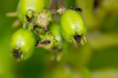 Close up macro of black ants climbing over a green plants buds with green back ground. Stock Photo