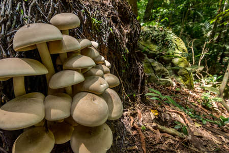 humid: Big cluster of large mushrooms grow from the roots up a fallen tree in a dense forest. Stock Photo