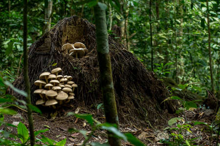 fallen tree: Big cluster of large mushrooms grow from the roots up a fallen tree in a dense forest. Stock Photo