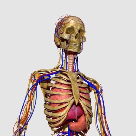 anatomia humana: La anatomía humana realista Foto de archivo