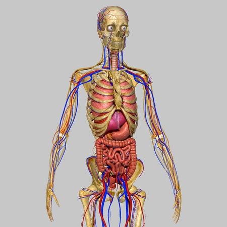 Realistic Human Anatomy