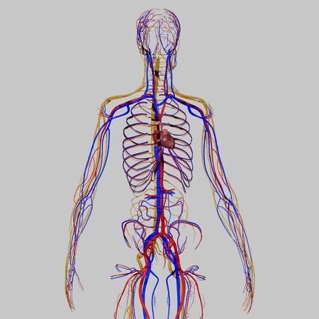 Réaliste système circulatoire humain Banque d'images