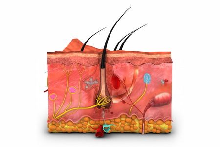 anatomia: Piel anatomía Foto de archivo
