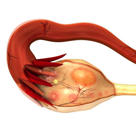 fimbriae: Ovary