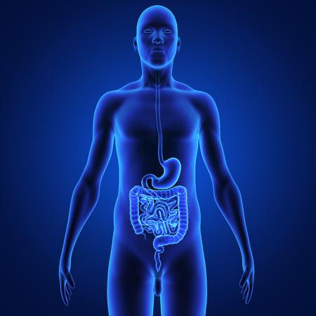 Digestive system photo
