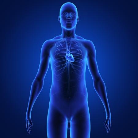 right coronary artery: Heart