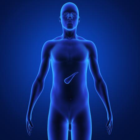 Pancreas photo